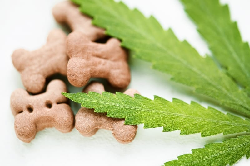 Cannabis Oil for Dogs: Everything You Need To Know
